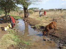 VAC water gathering with cow 2
